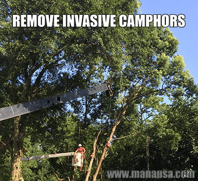 Tallahassee Tree Service Removes Invasive Camphor Trees